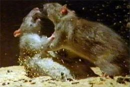 RATS-FIGHTING