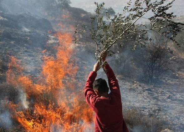 A Palestinian man uses a olive tree bran