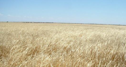 Wheat1